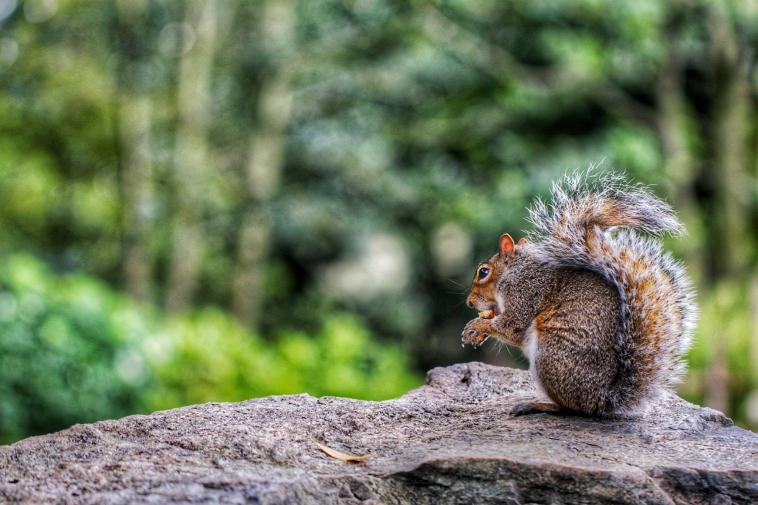 Londonian Squirrel
