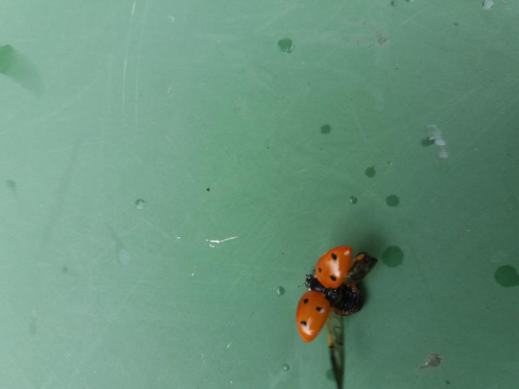 Ladybug on a green ping pong table